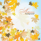 Maple autumn background, vector Stock Image