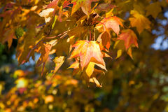 Maple in autumn with beautiful colors Royalty Free Stock Photos