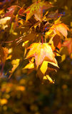 Maple in autumn with beautiful colors Stock Images