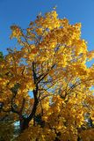Maple in autumn colors. A maple with golden leaves against the blue sky Royalty Free Stock Image