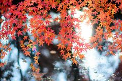 Maple. Autumn is coming. Maple leaves in Nanjing, China, start to turn red. December 2017 Royalty Free Stock Image