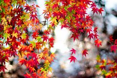Maple. Autumn is coming. Maple leaves in Nanjing, China, start to turn red. December 2017 Royalty Free Stock Photos