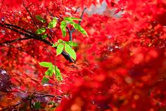 Maple. Autumn is coming. Maple leaves in Nanjing, China, start to turn red. December 2017 Stock Photo