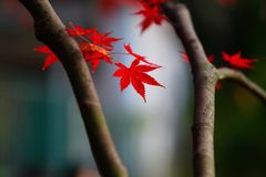 Maple. Autumn is coming. Maple leaves in Nanjing, China, start to turn red. December 2017 Stock Photography