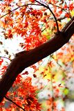 Maple. Autumn is coming. Maple leaves in Nanjing, China, start to turn red. December 2017 Royalty Free Stock Photography