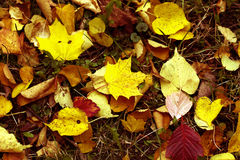 The maple on the autumn earth Royalty Free Stock Photography