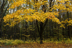 Maple in the autumn forest. Royalty Free Stock Photo