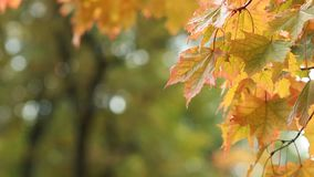 Autumn Landscape - bright yellow maple leaves tremble in the wind. Maple in the autumn forest in the rays of the setting sun. Autumn Landscape - bright yellow stock footage