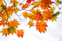 Maple in autumn. Royalty Free Stock Photo