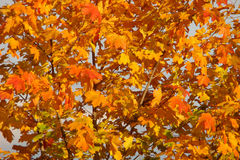 Maple in autumn. Maple (lat. Acer) is a genus of trees and shrubs of the family of Spindulys (Sapindaceae) in autumn stock photo