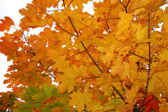 Maple in autumn. Maple (lat. Acer) is a genus of trees and shrubs of the family of Spindulys (Sapindaceae) in autumn Royalty Free Stock Image