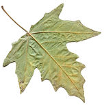 Maple autumn leaf isolated on white background Stock Image