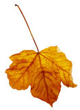 Maple autumn leaf Royalty Free Stock Images