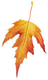 Maple autumn leaf Royalty Free Stock Photography