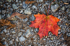 Maple autumn leaf Stock Photography