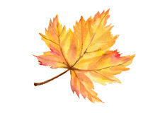 Maple autumn leaf in watercolor technique Stock Photography