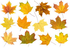 Maple autumn leaves Royalty Free Stock Photo