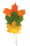 Maple autumn leaves Stock Photos