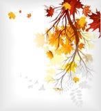 Maple autumn  leaves Stock Image