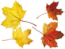 Maple autumn leaves. Natural color leaves. Good texture and detail Stock Image