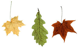 Maple Autumn Leaves Royalty Free Stock Image