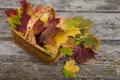 Maple autumn leaves in a basket. On a wooden background Stock Photography