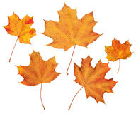 Maple autumn leaves collection, object set on white. Maple autumn leaves collection, object set isolated on white Stock Images
