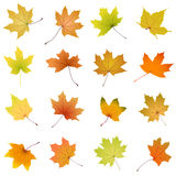 Maple autumn leaves collection Stock Image