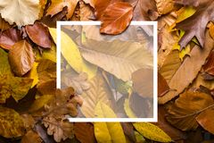 Maple autumn leaves foliage top view of creative layout made out. Of wild oak forest leave Stock Image