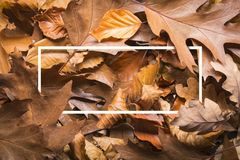 Maple autumn leaves foliage top view of creative layout made out. Of wild oak forest leave Royalty Free Stock Photo