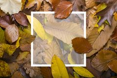 Maple autumn leaves foliage top view of creative layout made out. Of wild oak forest leave Royalty Free Stock Images