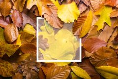 Maple autumn leaves foliage top view of creative layout made out. Of wild oak forest leave Stock Photo