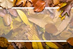 Maple autumn leaves foliage top view of creative layout made out. Of wild oak forest leave Stock Photos
