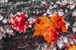 Maple Autumn leaves in full color. Maple Autumn leaves in still life scene Northeast Royalty Free Stock Image