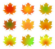 Maple autumn leaves isolated Royalty Free Stock Photo