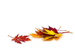 Maple autumn leaves. Isolated on white Royalty Free Stock Photos
