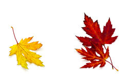 Maple autumn leaves. Isolated on white Stock Photo