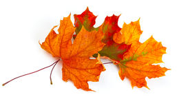 Maple autumn leaves Stock Photography