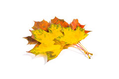 Maple autumn leaves isolated on white background. Maple autumn leaves isolated on a white background Royalty Free Stock Image