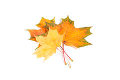 Maple autumn leaves isolated on white background Royalty Free Stock Image