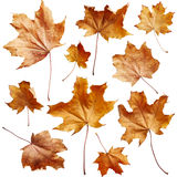 Maple autumn leaves Stock Photos