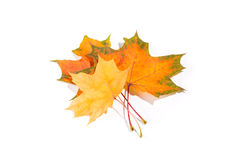 Maple autumn leaves isolated on white background. Maple autumn leaves isolated on a white background Royalty Free Stock Images