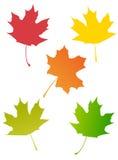 Maple autumn leaves Royalty Free Stock Photos