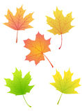 Maple autumn leaves Royalty Free Stock Images