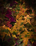 Maple autumn leaves - various trees. Maple autumn leaves - a various trees - background Stock Image