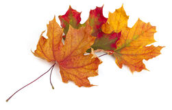 Maple autumn leaves. On white background Stock Image