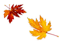 Maple autumn leaves. On white background Royalty Free Stock Image