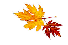 Maple autumn leaves. On white background Stock Photos