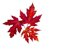 Maple autumn leaves. On white background Royalty Free Stock Photo