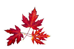 Maple autumn leaves. On white background Royalty Free Stock Images